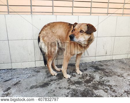 Stray Mongrel Dog With A Tag In Its Ear. Animal Has Been Spayed. Control Of The Population Of Stray