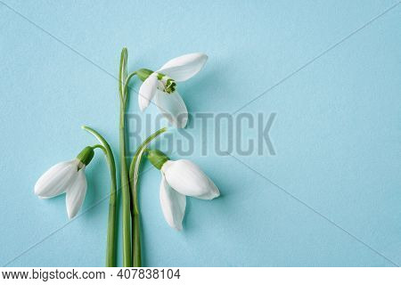 Three White Delicate Snowdrops Against Blue Background. Delicate First Spring Flowers Galanthus Niva