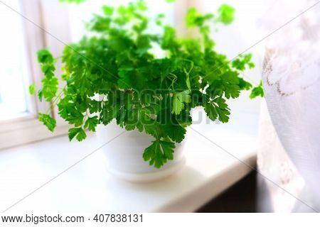 Selective Focus Growing Herbs On The Windowsill. Young Sprouts Of Parsley  In A Pot On A White Windo