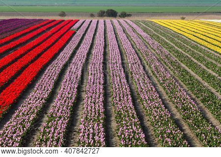 Holland Field Netherlands Farmland Spring Scenic Background. Colorful Bright Tulips. Springtime Harm