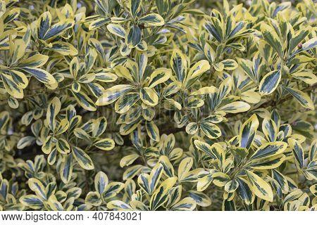 A Leafy Part Of A Euonymus Japonicus Aureomarginatus Hedgerow. Selective Focus
