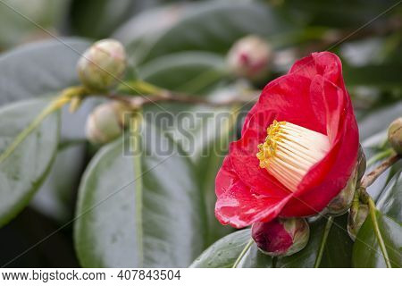 A Camellia Flower In The Foreground And Some Buds About To Bloom In The Background Out Of Focus, Sel