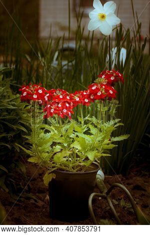 Red Verbena Blooms In A Plastic Pot In The Garden. Verbena Flowers With Narcissus And A Country Hous