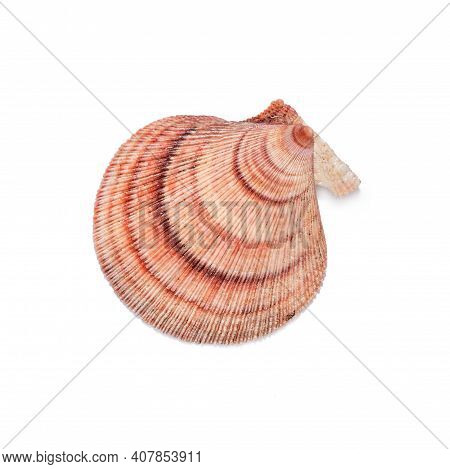 Scallop, Scallop Shell Shell On White Background Close Up