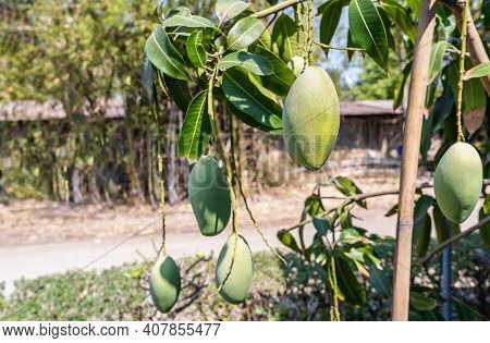 Fresh Raw Green Mangoes Hanging On A Mango Tree. Selective Focus On Fresh Mango On The Top Of Plants