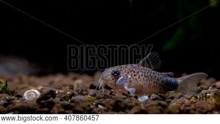 Armored Catfish Or Cory Catfish Stay Calm On Aquatic Soil With Dark Background In Fresh Water Aquari