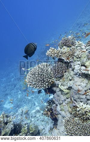 Colorful Coral Reef At The Bottom Of Tropical Sea, Hard Corals And Shoal Of Athias Fishes, Underwate