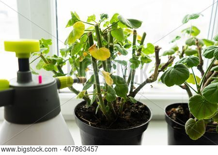 Geraniums In Pots On The Windowsill. Cut Stems Of Geranium Flower Prepared For Winter Hibernation. S