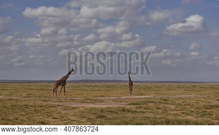 Two Graceful Giraffes Walk On The Yellow Grass In The Endless Savannah Of Africa. Long Necks And Gra