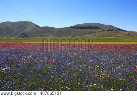Norcia (pg), Italy - May 25, 2015: The Famous Spring Flowering Near Castelluccio Di Norcia, Highland