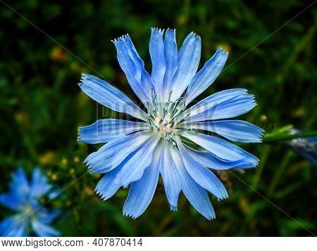 Common Chicory Flower (cichorium Intybus) Closeup Macro On Blue Green Chicory Field Green Background