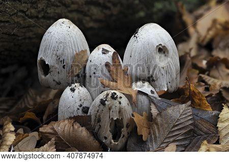 The Common Inkcap (coprinopsis Atramentaria) Is An Inedible Mushroom , An Intresting Photo