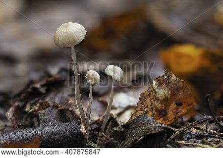 The Dripping Bonnet (roridomyces Roridus) Is An Inedible Mushroom , An Intresting Photo