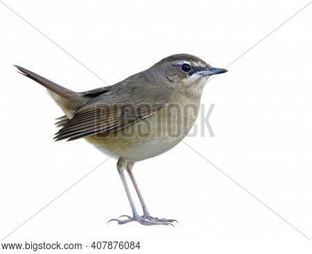 Lovely Fat Brown Bird Isolated On White Background, Female Of Siberian Rubythroat (luscina Calliope)