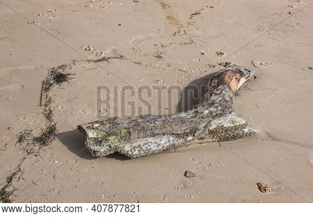 Remains Of An Old Rotten Tree On The Sandy Shore. Traces Of Animals And People Remained On The Sand.