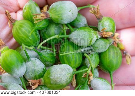 Lots Of Little Gooseberry Berries On Palm With Powdery Mildew Fungi Plant Desease. Harvest Care