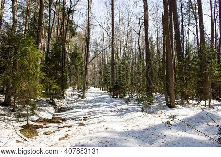 Beautiful Winter Landscape With Forest In Sunny Day. Snowy Road In The Winter Forest, Green Spruce,