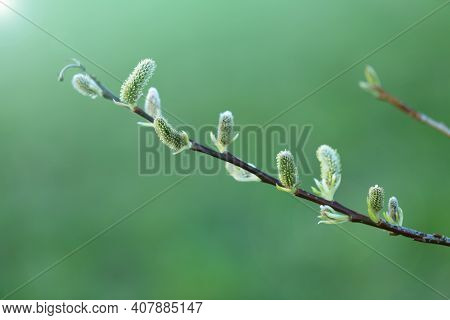 Pussy Willow Branch Close-up On A Green Blurred Spring Forest Background. Willow Buds. Spring Symbol