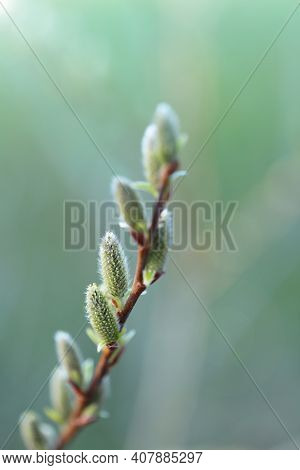 Pussy Willow Branch Close-up On A Green Blurred Forest Background. Willow Buds. Spring Symbol. Sprin