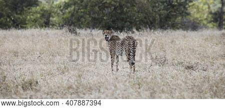 Yawning Spotted Cat Or Cheetah Stands In The Evening Savanna. An Adult Female Cheetah Looks Back Wit