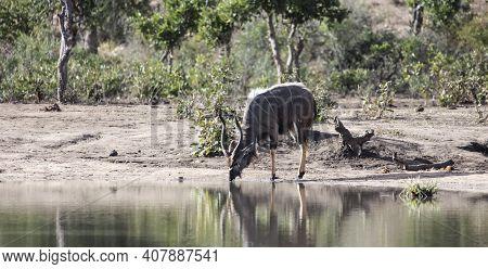 Nyala Or The Screw-horned African Antelope Drinks Water From The Lake. Wild Antelope Nyala Buck At T