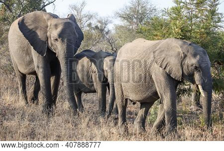 Wild Elephants Are Walking On The Savanna Among The Thorny Acacia Bushes. Three African Elephants Mo