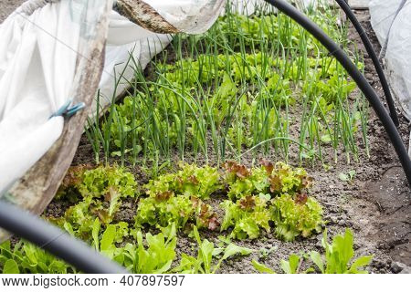 The Technology Of Growing Onions, Radishes And Lettuce In A Greenhouse Made Of Agro Fiber At Home Wi