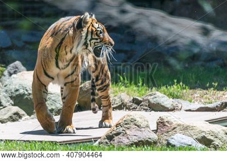 Bengal Tiger On The Prowl India Wildlife