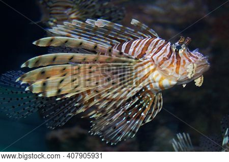 Beautiful Floating Lion Fish. Zebra Lion Fish Pterois Is A Genus Of Venomous Marine Fish, Commonly K