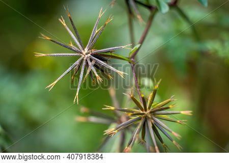 The Spiky Seed Heads Of  The Spanish Needles Plant (bidens Bipinnata). Raleigh, North Carolina.