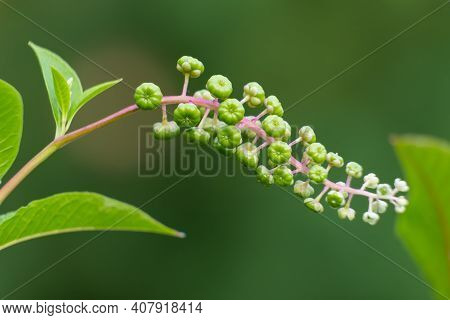 Eearly Green Growth Of American Pokeweed (phytolacca Americana) Berries. Raleigh, North Carolina.