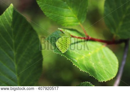 Closeup Of A New Alder Leaf Growing On A Branch