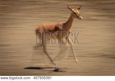Slow Pan Of Female Common Impala Running