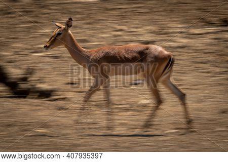 Slow Pan Of Female Common Impala Walking