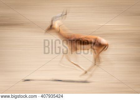 Slow Pan Of Male Common Impala Trotting