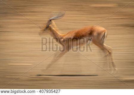 Slow Pan Of Racing Male Common Impala