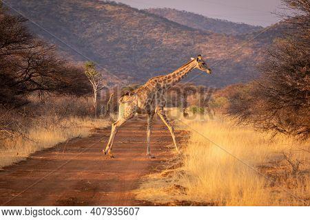 Southern Giraffe Crosses Dirt Track Near Impala