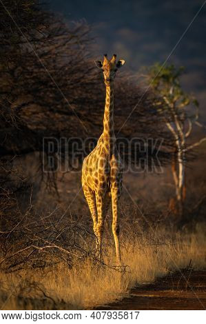 Southern Giraffe Stands Eyeing Camera At Sunset