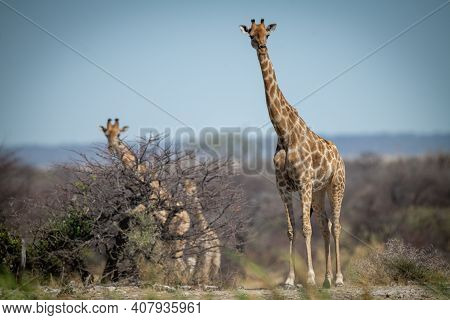 Southern Giraffe Stands On Ridge With Others