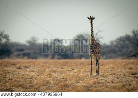 Southern Giraffe Stands On Savannah Facing Camera