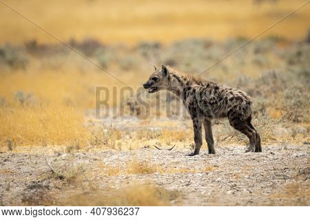 Spotted Hyena Stands In Profile Facing Left