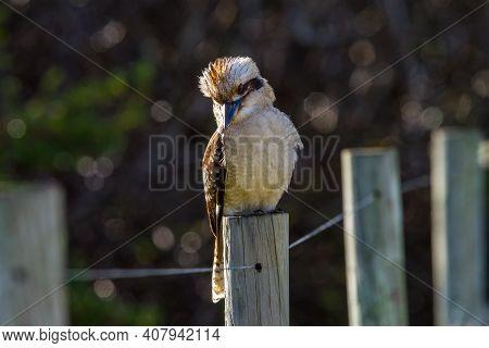 Laughing Kookaburra On Fence Post, Belvidere Leschenault Inlet, Western Australia