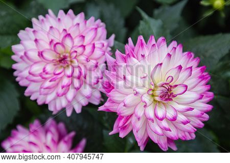 Dahlia Flower In Spring, Spring Background. Spring Composition In Soft Tones, Spring Card, Colorful