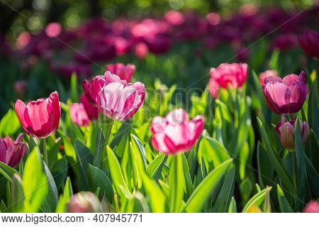 Tulip Flower In Spring, Spring Background. Spring Composition In Soft Tones, Spring Card, Colorful S