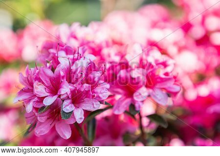 Rhododendron Flower In Spring, Spring Background. Spring Composition, Spring Card, Colorful Spring B
