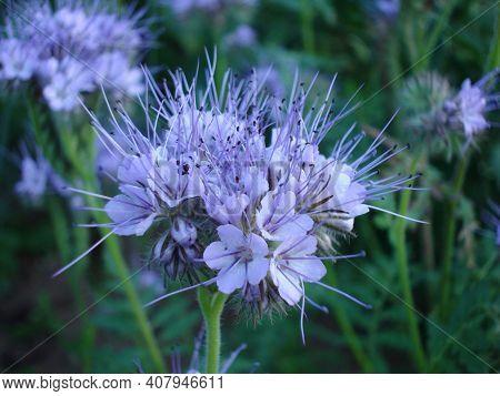 Phacelia Flower Close Up, Honey Plant And Green Manure