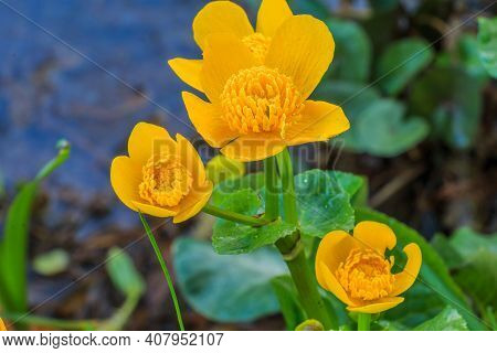Marsh Marigold In A Wetland With Three Flowers. Bee Pollen On Opened Flowers With Pistil And Stem. G