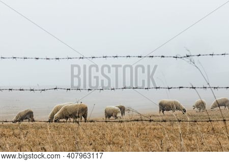 Herd Of Sheep On The Meadow In Foggy Early Morning