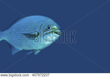Bermuda Chub Swimming Against A Blue Background