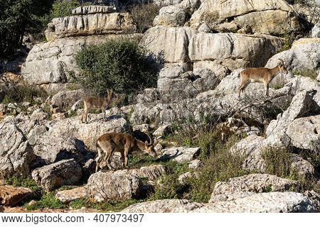 Many Iberian Wild Mountain Goats In The El Torcal Nature Park In Andalusia